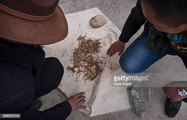 Tibetan nomads display high quality cordycep fungus on May 18 2016 at a market in Yushu on the Tibetan Plateau in the Yushu Tibetan Autonomous...