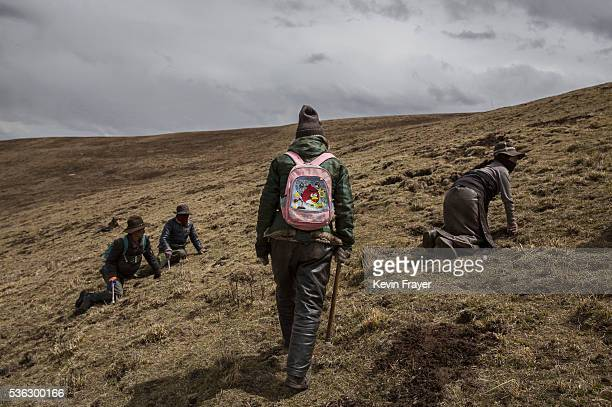 Tibetan nomads search for cordycep fungus at high altitude on May 20 2016 near Sershul on the Tibetan Plateau in the Garze Tibetan Autonomous...