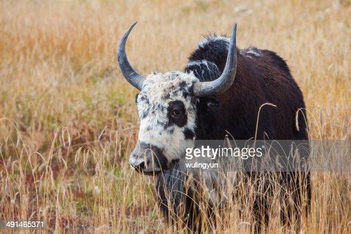 Tibetan ox