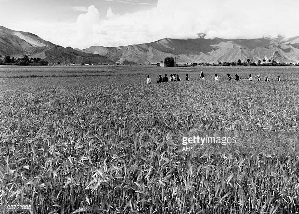 Tibetan peasants work at the harvest of the barley in August 1965 near the village in Todlung Dechen near Lhasa in the autonomous region of Tibet