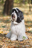 Tibetan terrier dog with tongue out sitting on road in forest and relaxing, selective focus