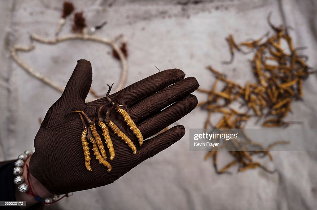 A Tibetan woman displays high quality cordycep fungus on May 18, 2016 at a market in Yushu on the Tibetan Plateau in the Yushu Tibetan Autonomous Prefecture of Qinghai province. The Tibetan Plateau is home to the cordyceps fungus, also known as caterpillar fungus, is a parasitic spore that thrives in high altitude, low temperature conditions on the Tibetan plateau. While not historically a part of Tibetan culture, cordyceps are a prized ingredient of traditional Asian medicinal treatments that purportedly heal ailments ranging from asthma to impotence to cancer. Demand in China alone has created a booming economy for what Tibetans call yartsa gunbu, or summer grass, winter worm, which sells for up to $50,000 US per pound. As the state-supported cordyceps industry has developed, Tibetans who rely primarily on farming and herding have turned to the weeks-long harvest as a means of earning income to last through the year. The annual gold rush has transformed parts of rural Tibetan areas, generating about 40% of the local economy. However, environmentalists increasingly warn that over-harvesting of cordyceps carries the cost of degradation to mountain grasslands that are essential for yak and cattle grazing. Due to below average rainfall the 2016 harvest is expected to be the lowest on record with many harvesters reporting yields way lower then expectations.
