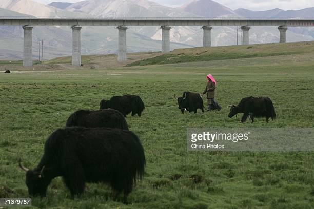 A Tibetan woman herds yaks next to a railroad bridge of QinghaiTibet Railway on July 5 2006 in Dangxiong County of Tibet Autonomous Region China...
