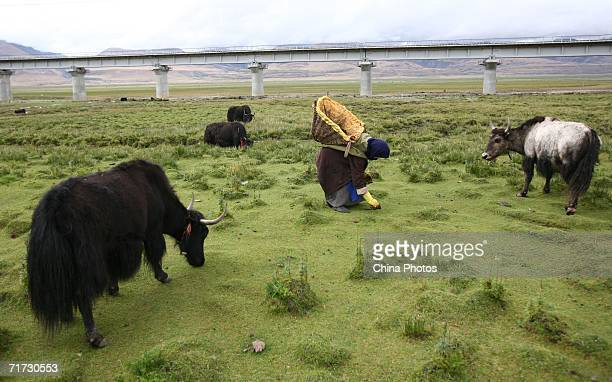A Tibetan woman picks yak dung for fuel at a pasture along the QinghaiTibet Railway on August 27 2006 in Dangxiong County of Tibet Autonomous Region...