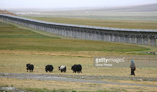A Tibetan woman walks in a pasture with yaks near the QinghaiTibet Railway on August 27 2006 in Dangxiong County of Tibet Autonomous Region China The...