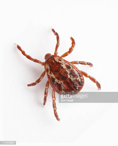 Tick Close up