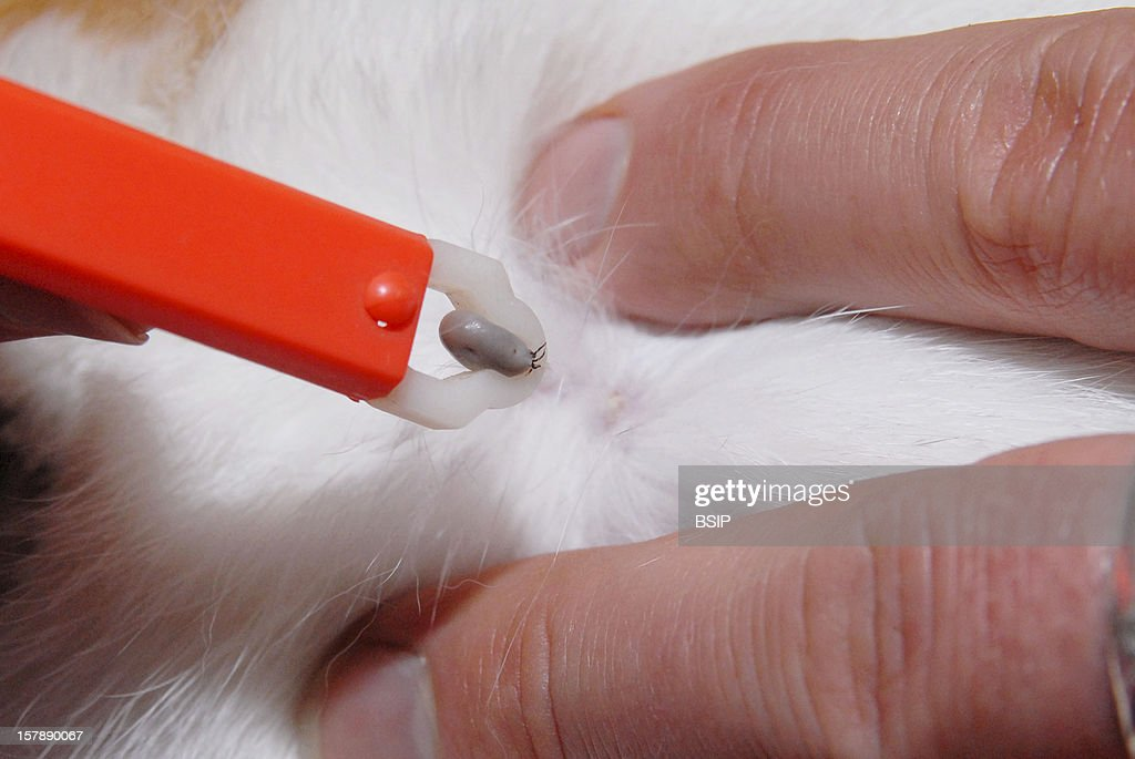 Tick Twister Extraction Of The Tick From The Cat.