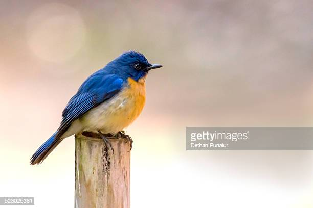 Tickell's Blue Flycatcher (Muscicapa tickelliae)