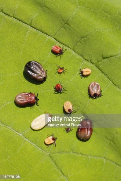 Ticks on a leaf on July 12 2011 in Nittendorf Germany