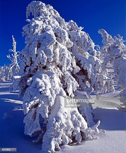 Tief verschneite Nadelbaeume Fichten in winterlicher Waldlandschaft auf dem Erzgebigskamm