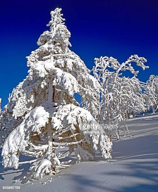 Tief verschneite Nadelbaeume in winterlicher Waldlandschaft im Ergebirge