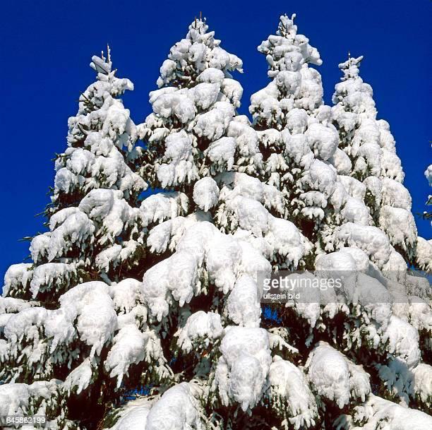 Tief verschneite Nadelbaeume Omorikafichten in winterlicher Waldlandschaft