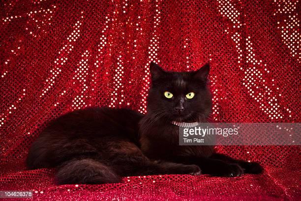 Tiffany/Chantilly cat