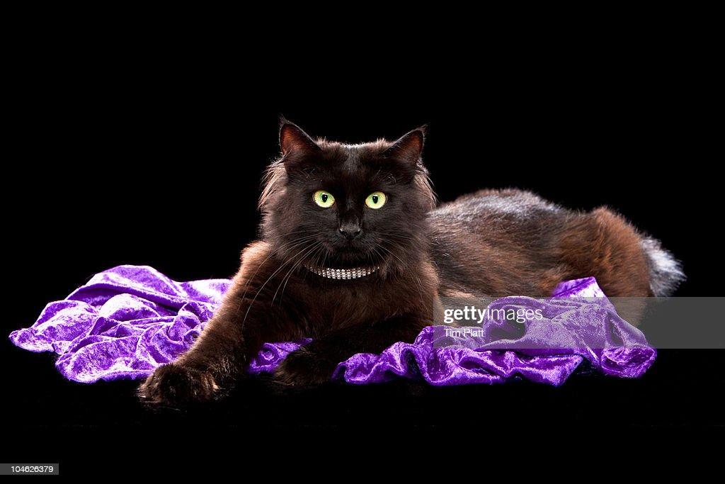 Tiffany/Chantilly cat : Stock Photo