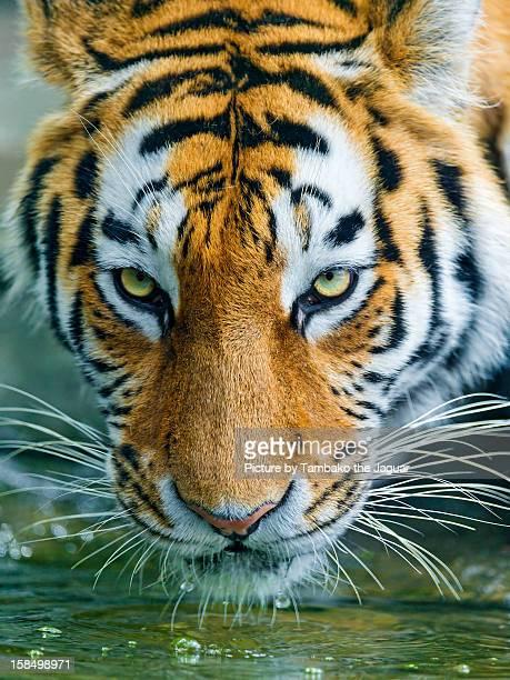 Tiger at pond
