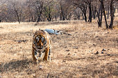 Wildlife shot of Tiger in Ranthambore India. He is defending his prey.