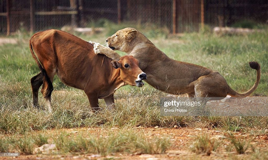 photos et images de captive animals have hunting lessons at wuhan forest safari park
