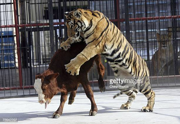 A tiger attacks live prey at the Changchun Wildlife Park on September 29 2006 in Changchun Jilin Province China The park is training wild animals to...