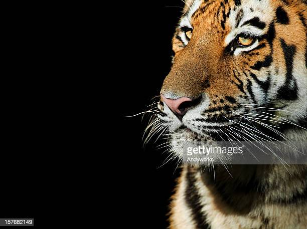 Tiger Close Up