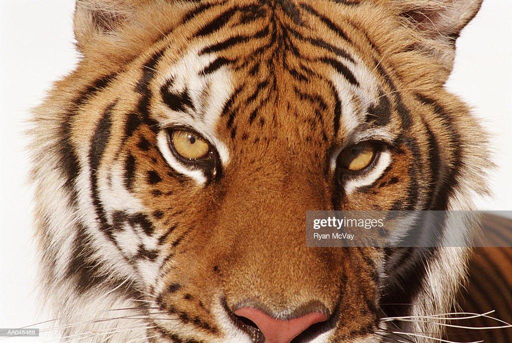 Tiger (Panthera tigris), close-up : Stock Photo