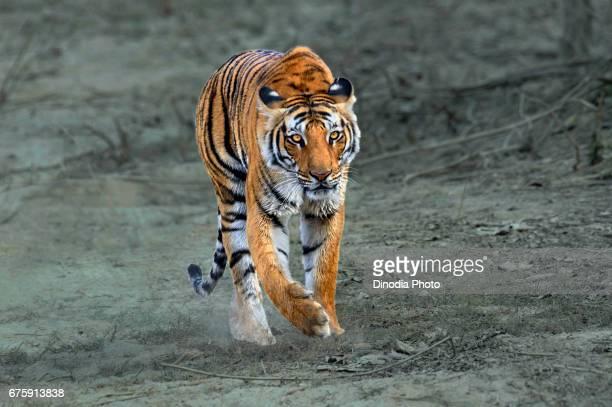 Tiger, corbett national park, ramnagar, uttarakhand, india, asia
