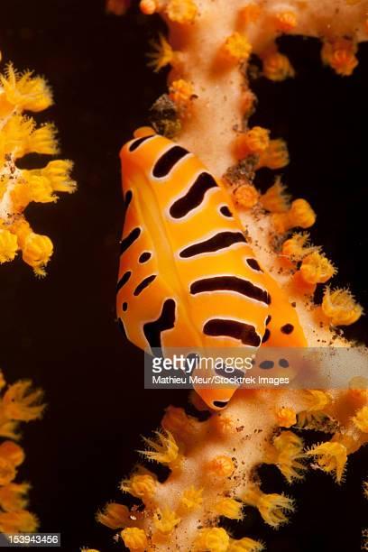 Tiger cowrie on yellow sea fan, Bali, Indonesia.