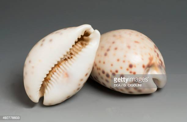 Tiger cowrie shell freak that is deformed by fish bites or compression between rocks Littorinimorpha