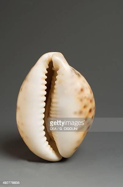 Tiger cowrie shell with dark spots on orange background Littorinimorpha