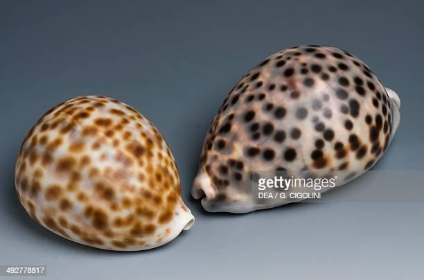 Tiger cowrie shells Littorinimorpha
