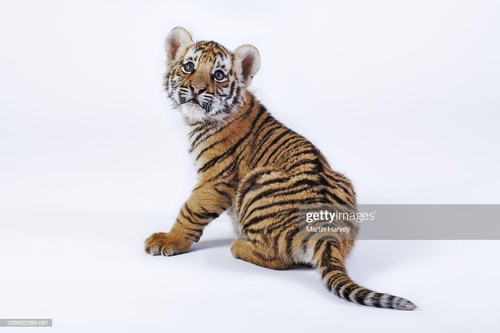 Tiger cub (Panthera tigris) against white background