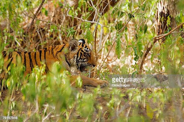 Tiger (Panthera tigris) cub hiding in a bush in a forest, Ranthambore National Park, Rajasthan, India