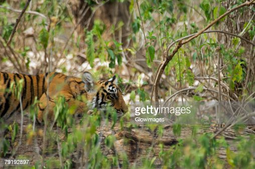 Tiger (Panthera tigris) cub resting in a forest, Ranthambore National Park, Rajasthan, India : Foto de stock