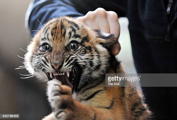 Tiger Cubs at Melbourne Zoo Justin Valentine with Rani female weighed 945kg One of four Sumatran Tiger cubs who were vaccinated this morning to...