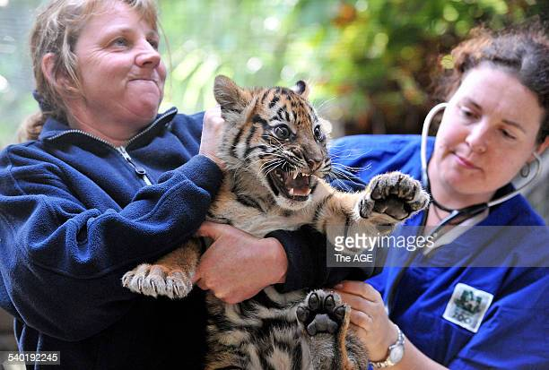 Tiger Cubs at Melbourne Zoo Sheila Roe with Indrah female weighed 705kg One of four Sumatran Tiger cubs who were vaccinated this morning to protect...