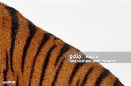 Tiger (Panthera tigris), detail : Stock Photo