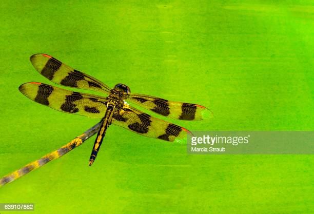 Tiger Dragonfly with a Painterly Effect