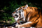 The tiger is lying in a small glade and eating. It is holdsing a small prey between paws. Pieces of preys white fur are strewn on the ground. Late afternoon sun highlights orange color of its fur. Cha
