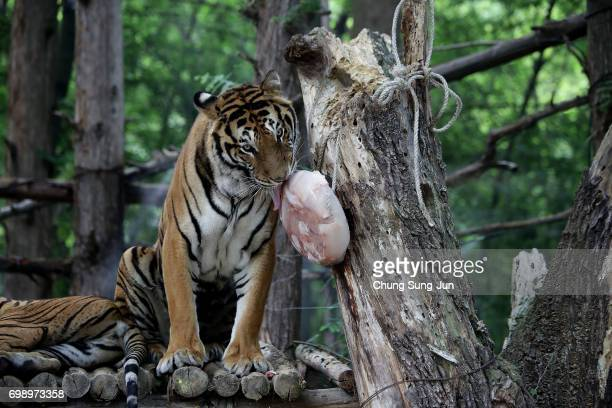 A tiger enjoys special icy chicken given by zoo keepers during the summer season to get by the heat at the Everland Amusement Park on June 21 2017 in...