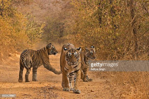 Tiger family in a forest