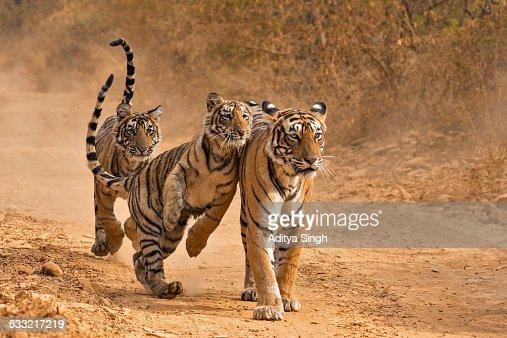 Tiger family in Ranthambhore : Stock Photo