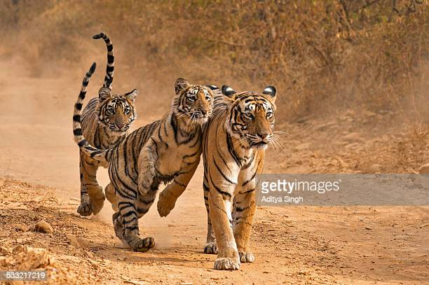 Tiger family in Ranthambhore