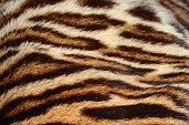 closeup of tiger fur background texture