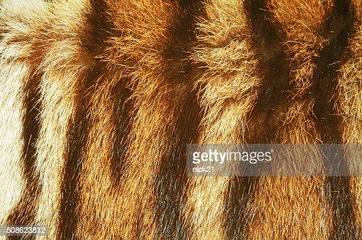 tiger fur texture : Stock Photo