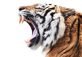 Furious tiger isolated on white background
