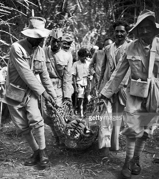 Tiger hunting in Mysore India in the 1950s A dead tiger carried by a group of beaters and servants of the Maharadja's palace in the province of...