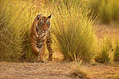Tiger in a beautiful golden light in the nature habitat, Ranthambhore National Park, India
