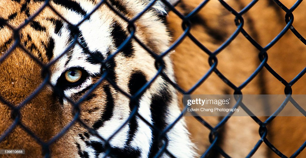 Tiger in cage stock photo getty images - Tiger in cage images ...