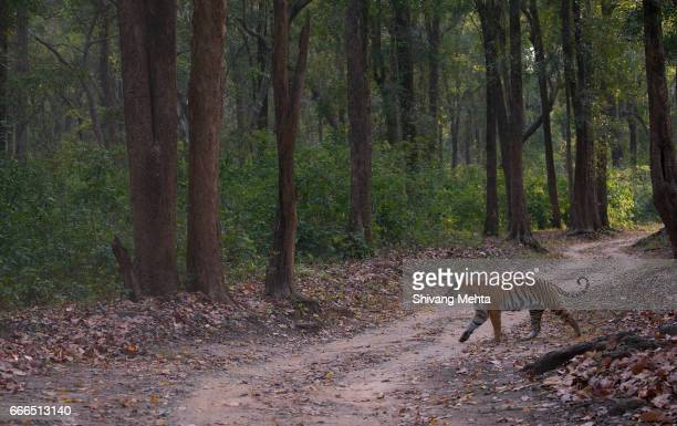 Tiger in saal forest
