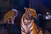 Bengal tiger in the circus arena