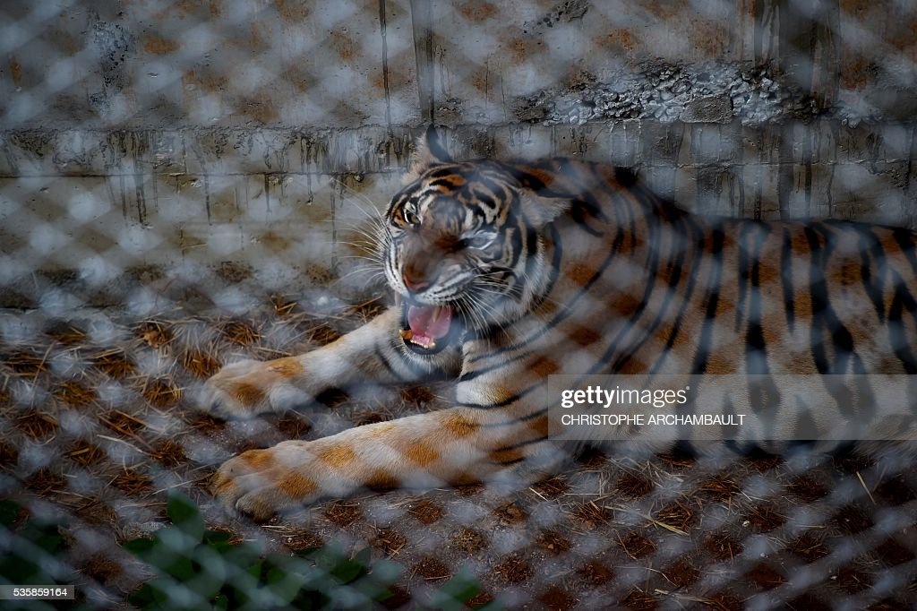 A tiger is seen in an enclosure at the Wat Pha Luang Ta Bua Tiger Temple in Kanchanaburi province, western Thailand on May 30, 2016. Thai wildlife officials armed with a court order on May 30 resumed the treacherous process of moving tigers from a controversial temple which draws tourists as a petting zoo, but stands accused of selling off the big cats for slaughter. / AFP / CHRISTOPHE